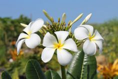 Plumeria Threesome | Hawaii Pictures of the Day