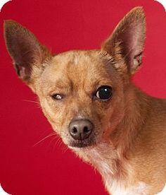 Chicago, IL - Miniature Pinscher/Chihuahua Mix. Meet Stitch, a dog for adoption. http://www.adoptapet.com/pet/12929355-chicago-illinois-miniature-pinscher-mix