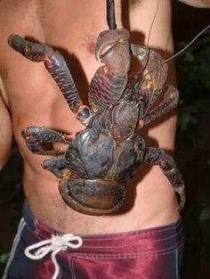 "Coconut Crabs: Nature is a Strange Thing - ""Worst Thing"" ~ The Nature Animals"