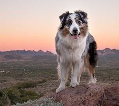 Australian Shepherd Dog Photo of the Month This is Jasper, a 3 year-old gorgeous blue merle Australian Shepherd.