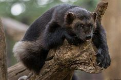 VK is the largest European social network with more than 100 million active users. Wolverine Images, Wolverine Animal, Quokka, Wolverines, Black Bear, Otters, Predator, Animal Kingdom, Mammals