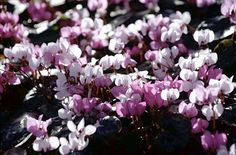 Cyclamen coum AGM / RHS Gardening - (grow in pots) FLOWERS IN SPRING & WINTER