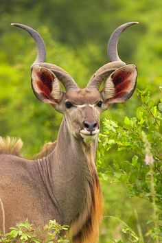 Kudu Bull, Kruger, South Africa ~j Animals With Horns, Animals And Pets, Cute Animals, Primates, Mammals, Kenya, Lovely Creatures, Mundo Animal, Wild Nature