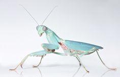 Blue Female Jade © Phil Corley (photographer, UK) ... ... Pretty pastel preying mantis.