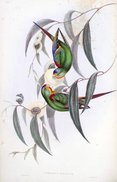 Swift Lorikeet, Lathamus discolor
