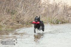 Hondenfotograaf Pet Portrait - Labrador retrievers tijdens de jachttraining-4