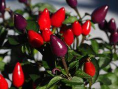 I frutti rossi e viola del capsicum annuum o peperoncino ornamentale