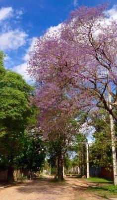 Tarumá en flor .Asunción-Paraguay