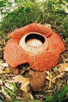 Rafflesia arnoldii, una de las flores más grandes del mundo, alcanza un metro de diámetro y es endémica de las selvas de Sumatra. Es una pla...