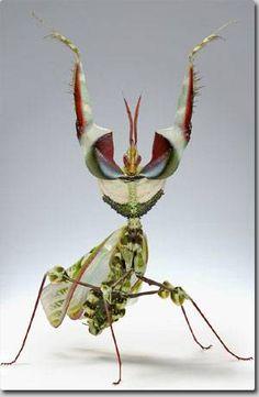ネットアイドル生物図鑑:魔王の異名をもつ「ニセハナマオウカマキリ」 : カラパイア