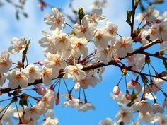벚꽃, 당인리발전소, 2013