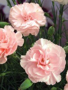 Dianthus 'Blushing Maiden'