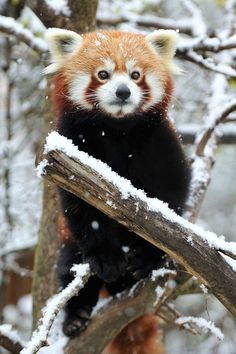 It& not widely known that Red Pandas were genetically engineered at the Institute of Cuteology in Japan. Panda In Snow, Panda Love, Red Panda Cute, Scary Animals, Animals And Pets, Cute Animals, Beautiful Creatures, Animals Beautiful, Top Imagem