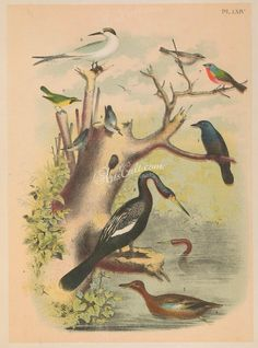 064-Cinnamon Teal or Red-breasted Teal (1), Anhinga or Snake-bird or Water-turkey or Darter (2), Brewer's Blackbird or Blue-headed Grackle (3), Brown-headed Nuthatch (4), Kentucky       ...