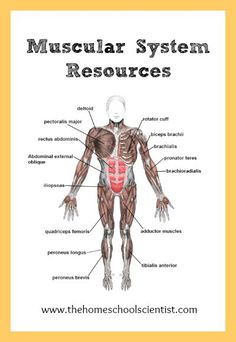 muscular system lesson resources - human anatomy