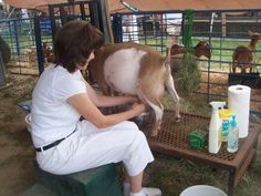 Very good how-to on milking goats (Nigerians, only slight differences for standard size ones)