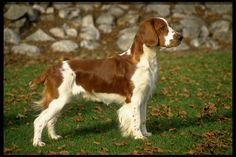 Welsh Springer Spaniel Puppies For Sale & Puppy Breed Info Welsh Springer Spaniel Puppies, Spaniel Puppies For Sale, English Springer Spaniel, Dogs And Puppies, Doggies, Brittany Spaniel Dogs, Dog Breeds Pictures, Puppy Breeds, Dog Breeders