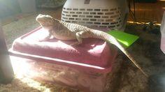 Sunning dragon
