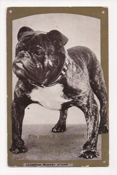 Bulldog DOG Postcard Champion Rodney Stone E-917