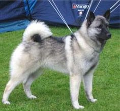 norwegian-elkhound1.jpg 250×232 pixels