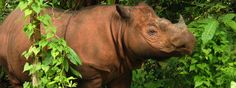 Sumatran Rhino (Dicerorhinus sumatrensis). Critically Endangered. [Borneo,Sumatra]