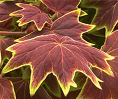 Geranium Vancouver Centennial (use w/purple fountain grass & orange king coleus)