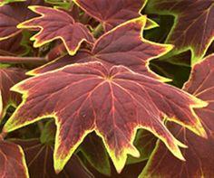 Geranium Vancouver Centennial (use w/purple fountain grass & orange king coleus)