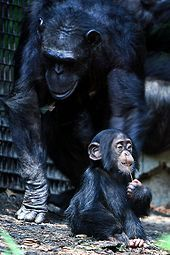 Chimpanzee: Tribe: Panini, Subfamily: Homininae, Family: Hominidae, Order: Primates; 2 extant hominid species of apes; Congo River forms the boundary between the native habitats of the 2 species: Common chimpanzee, Bonobo; Chimpanzees split from the human branch of the Hominidae family about 4-6 may; closest living relatives to humans