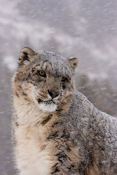 beautiful #Snow Leopard... one of many big cat species who's populations are severely threatened by poachers.