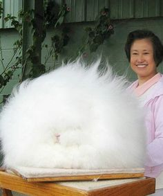 I have never seen a rabbit as fluffy as the Angora rabbit. Angora rabbit is one of the oldest types. Fluffy Bunny, Fluffy Rabbit, Angora Bunny, Angora Rabbit, Angora Goat, Rabbit Fur, Fluffy Animals, Cute Animals, Bunnies