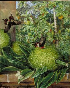 Marianne North. Kew Gardens. Breadfruit, a staple of Hawaii before European contact, still amazing to eat today.