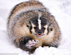 The Wolverine- ruthless animal! nearly extinct!