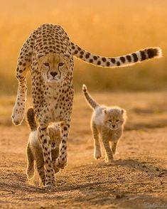 "Wildlife Planet on Instagram: ""Cheetah Family Photo by @gkpixels #WildlifePlanet"""