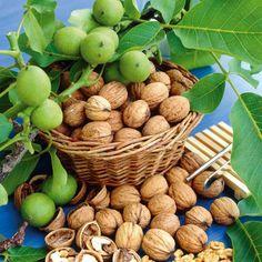 Грецкий орех — хлеб будущего. Почти ежегодно с одного взрослого орехового дерева снимают урожай в 200—300, а то и 500 килограммов орехов. Пять таких деревьев могут дать столько масла, сколько целый гектар подсолнечника. И какого масла! Всего 20—25 орехов достаточно, чтобы удовлетворить дневную потребность человека в жирах и почти шестую часть — в белках. Фото: © kielkowski