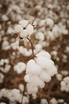 If you haven't ever lived or driven thru the south, this is how cotton grows. I saw this scene while I lived in Alabama. In fall, the field looked like it had snowed but it had partially melted.
