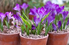 10 of the best bulbs for spring pots, including crocus, daffodil and tulips, recommended by Kevin Smith, deputy editor of BBC Gardeners' World Magazine. Crocus Plants, Crocus Bulbs, Daffodil Bulbs, Bulb Flowers, Flower Pots, Potted Flowers, Flowers Garden, Garden Bulbs, Planting Bulbs