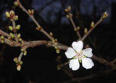 blossom in my back yard