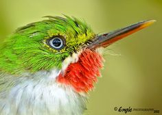 Species Gallery - Neotropical Birds
