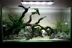 UK Aquatic Plant Society: Various members' tank.