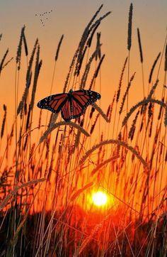 Butterfly in glowing sunset. Una farfalla posata sulle spighe al tramonto. #Sole