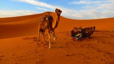 Chameaux ( Dromadaires 1 seule bosse ^^) - Merzouga - Maroc