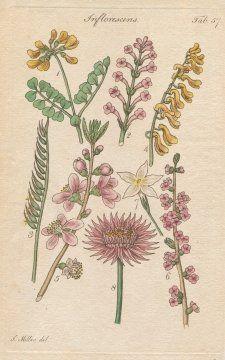 FLOWER STRUCTURE on plants, Plate 57 Illustration by John Miller Botanical Studies from 1789 Poster print. Featured plants: Small Shrubby Coronilla, Verbena, Mat Grass, Yellow Fumatory, Peach Tree, Mexerium, Jasmine, Satin (Eternal ). Emerald Honeybee,http://www.amazon.com/dp/B002AUVYY4/ref=cm_sw_r_pi_dp_QlW-sb19BGZKPJVX