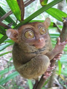 The Philippine Tarsier is one of the smallest primates on earth. I love the Tasier!!