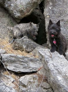 Cairn Terriers doing what they do best...