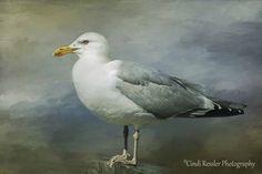 Herring Gull, Seagull, Bird Photography, Nature Photography, Beach Photography, Bird Watchers, Shorebirds