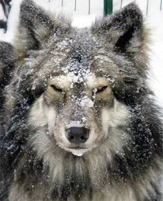 looks so much like a wolf American Indian Dog, Native American Indians, Native Americans, Native Indian, American Women, American Art, Animals And Pets, Cute Animals, Alaskan Klee Kai