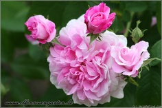 'Ispahan ' Rose - sumptuously fragrant, blooms prolifically in our garden