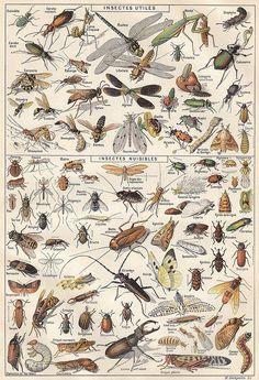 Insectes 1 - Larousse universel - 1922