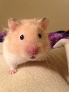 My hector the long haired cream banded syrian hamster