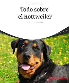 """Todo sobre el #Rottweiler  El Rottweiler es un #perro fuerte, robusto y atlético que causa admiración entre los que lo conocen y #temor entre los que no. Aunque ha tenido mala #publicidad debido a entrenamientos #orientados a aumentar su #agresividad y a su aparición en películas como """"La Profecía"""", donde encarnó al """"perro del diablo""""."""